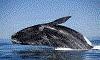 Почему киты выбрасываются на берег?