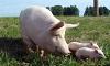Чем кормить свиней?