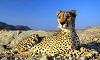 Гепард – пятнистый котик